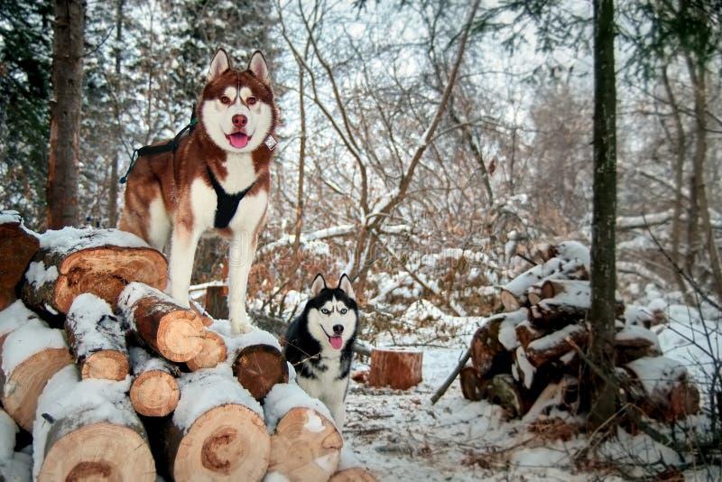 Zwei heisere Hunde auf a lizenzfreies stockfoto