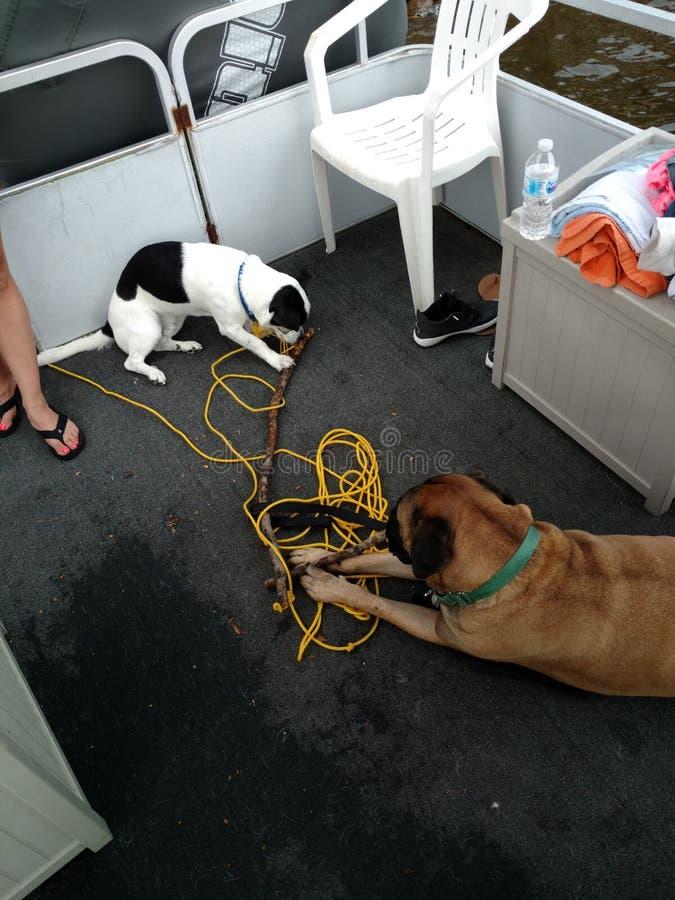 Zwei Hunde auf einem Boot stockfotos