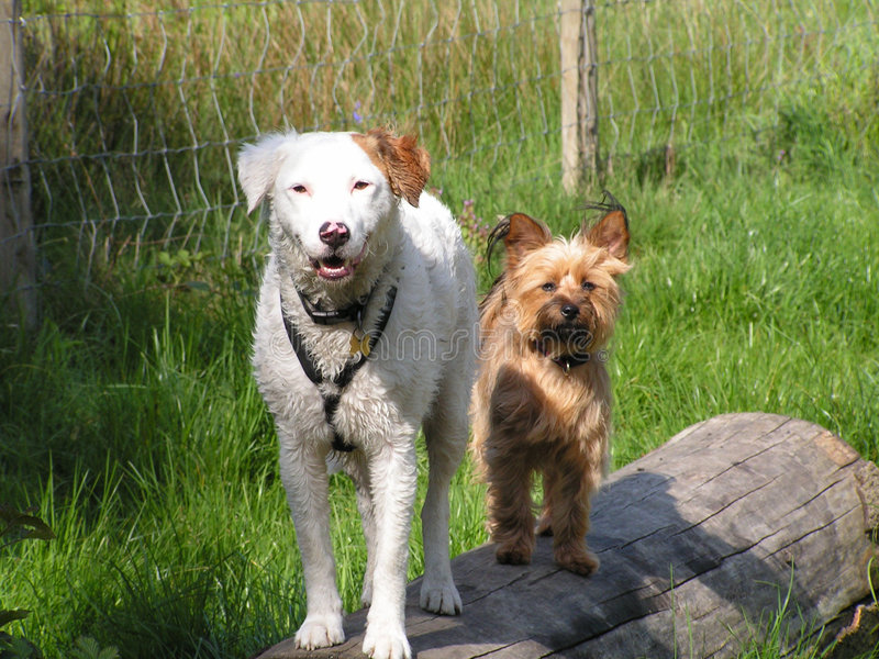 Zwei Hunde auf einem Protokoll lizenzfreie stockfotografie
