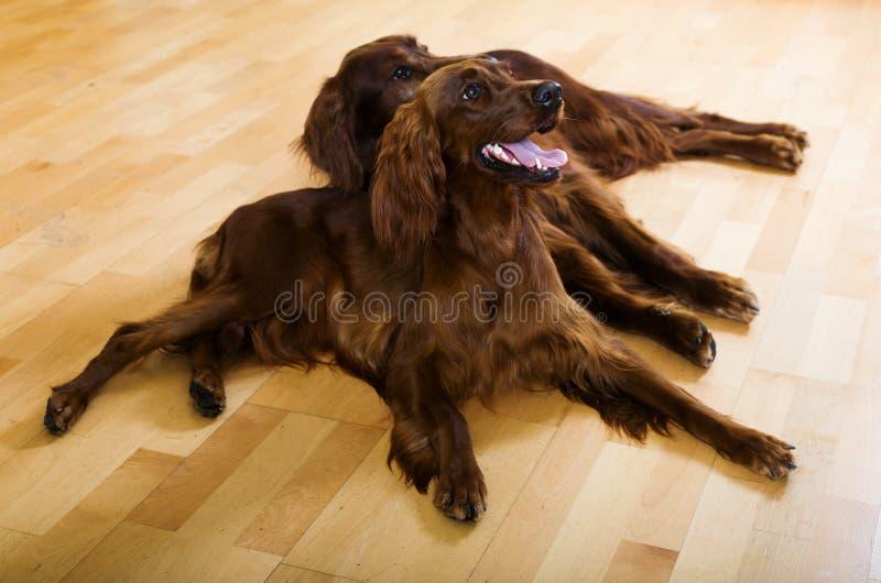 Zwei Hunde auf Parkett stockfotos