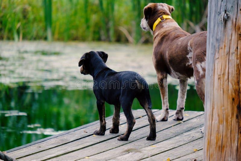 Zwei Hunde auf Teichdock lizenzfreie stockfotos