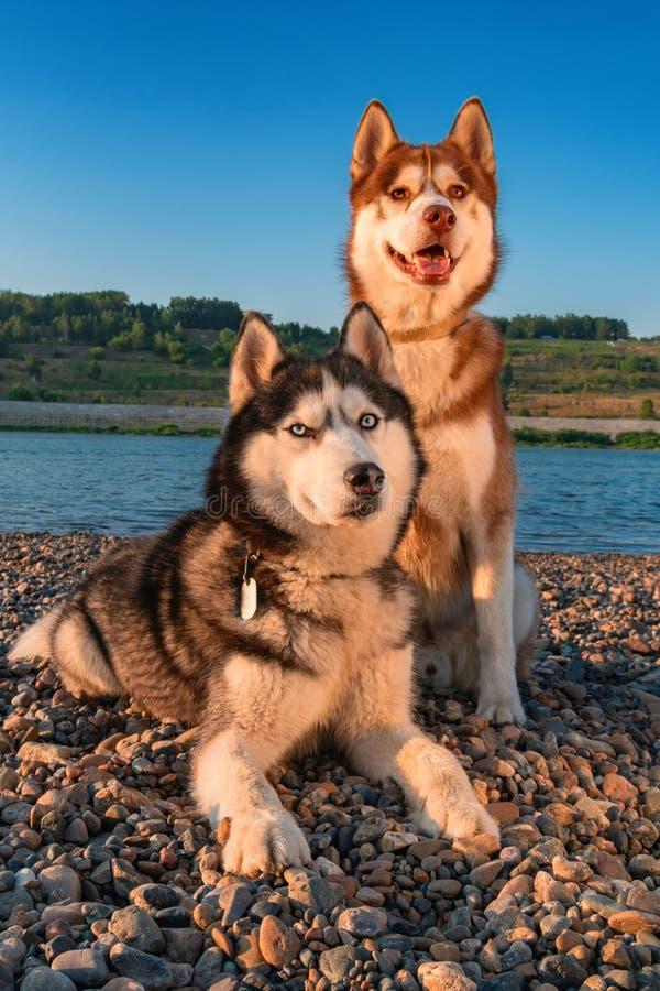 Zwei Hunde des sibirischen Huskys, die zusammen auf dem Ufer sitzen Porträt auf dem schönen Sommerabendsonnenuntergang stockbilder