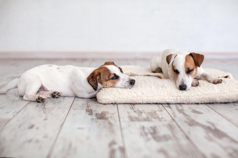 Zwei Hunde, die auf Boden schlafen lizenzfreies stockbild