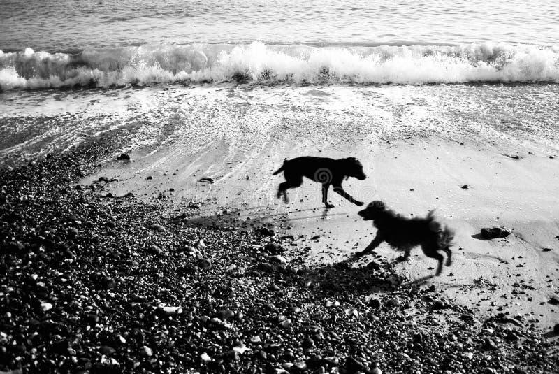 Zwei Hunde, die auf einem Strand spielen lizenzfreie stockfotos