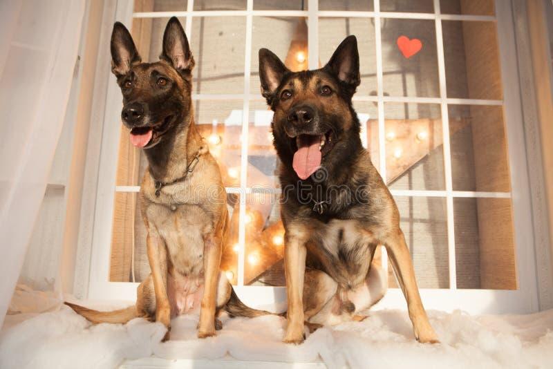 Zwei Hunde, die auf Hintergrund sitzen stockfotos