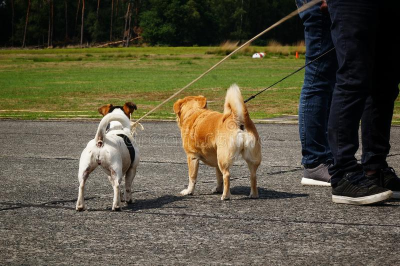 Zwei Hunde, die ihr hinteres Ende auf einem Sportflugplatz zeigen stockfotografie