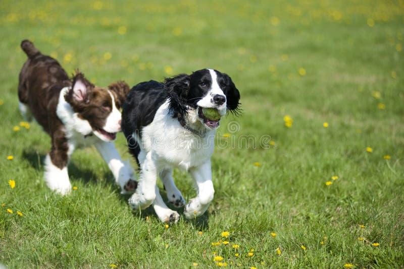 Zwei Hunde, die Verfolgung spielen stockfotografie