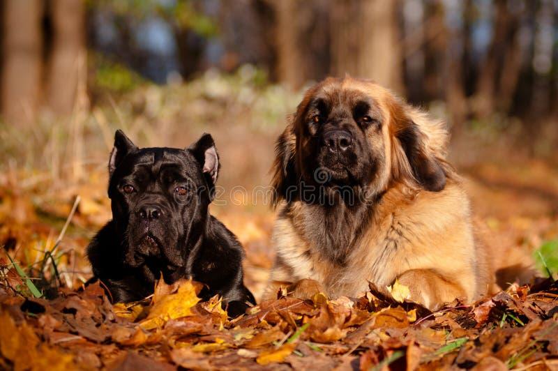 Zwei Hunde, die zusammen in den Herbstblättern liegen stockfoto