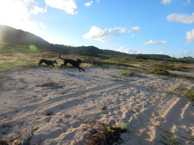 Zwei Hunde laufen gelassen auf dem Strand an einem schönen Tag lizenzfreie stockfotos