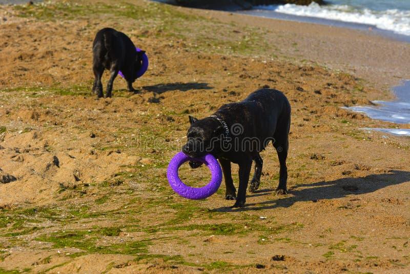 Download Zwei Hunde Rottweiler Im Wasser Durch Das Meer, Das Mit Einem Spielzeug I Spielt Stockfoto - Bild von tiere, freundlich: 96934570