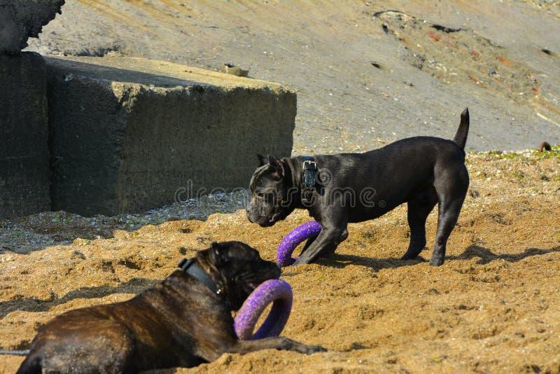 Download Zwei Hunde Rottweiler Im Wasser Durch Das Meer, Das Mit Einem Spielzeug Spielt Stockbild - Bild von schwarzes, strände: 96931853