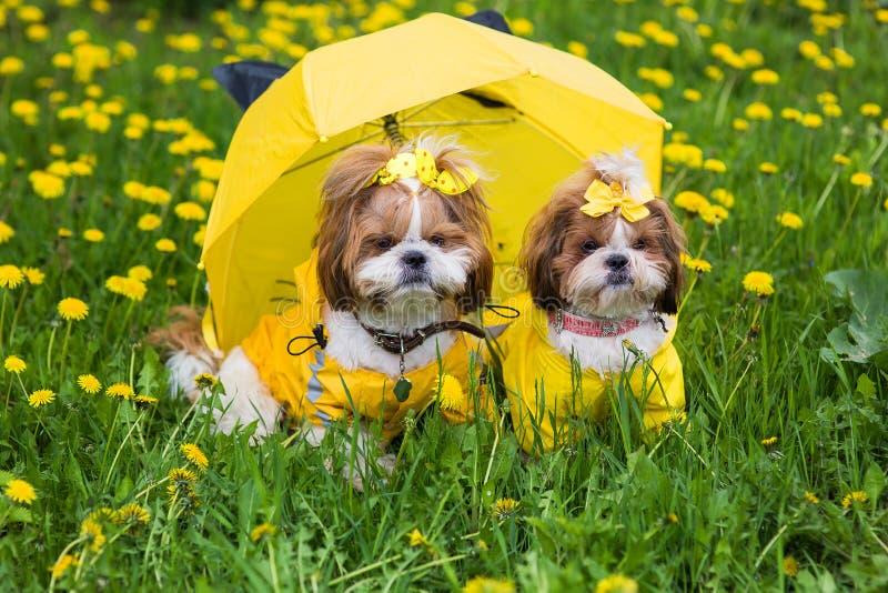 Zwei Hunde Shih Tzu in einem gelben Kleid, das unter einem Regenschirm auf einem Hintergrund des gelben Löwenzahns sitzt stockfotografie