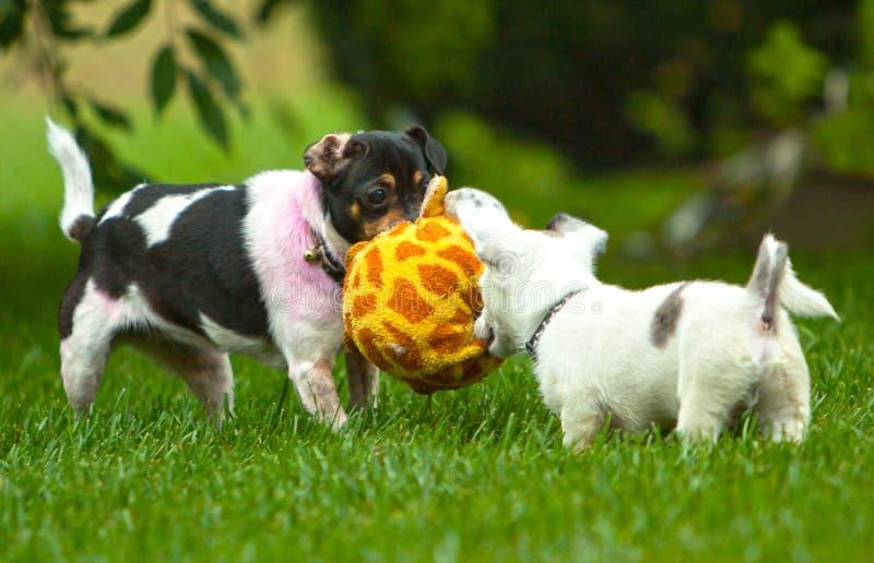 Zwei Hunde teilgenommen an Spiel stockbild