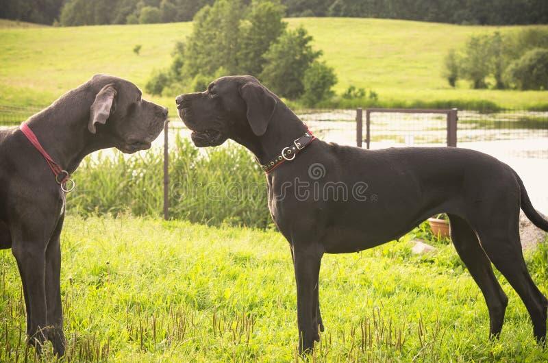 Zwei Hundeargumentierung lizenzfreie stockbilder