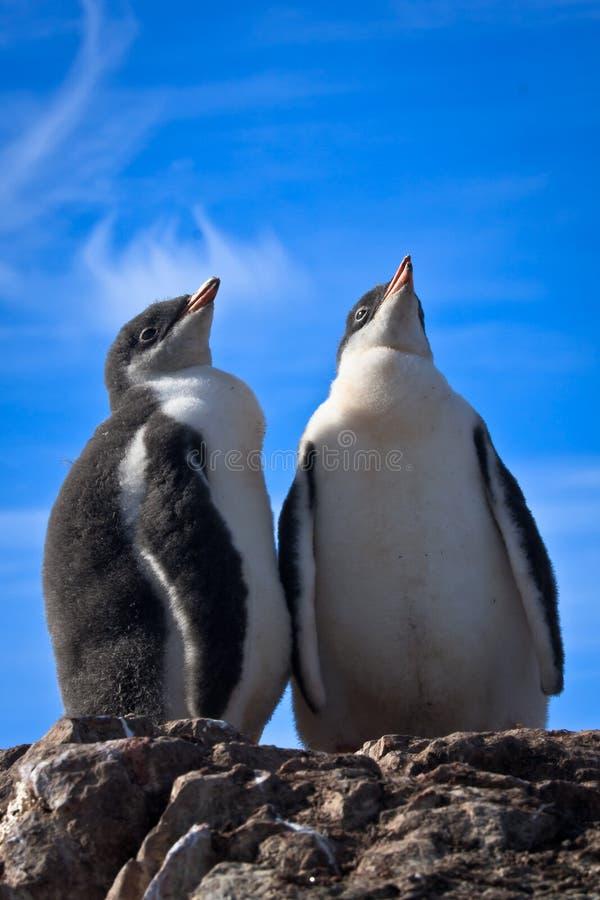Zwei identische Pinguine lizenzfreie stockfotografie