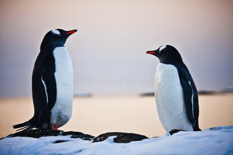 Zwei identische Pinguine lizenzfreie stockbilder