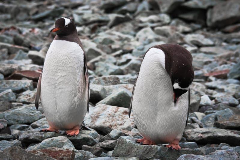 Zwei identische Pinguine stockfotos