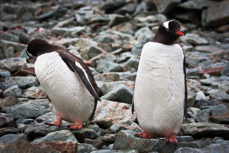 Zwei identische Pinguine stockfotografie