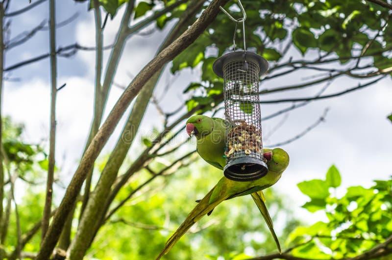 Zwei indische grüne Sittiche hockten auf einer Vogelzufuhr stockfotos