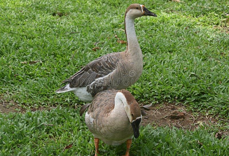 Zwei indische graue und weiße Enten, die im Garten spielen lizenzfreie stockbilder