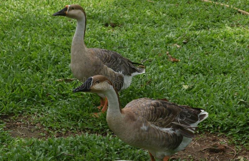 Zwei indische graue und weiße Enten, die im Garten spielen lizenzfreies stockbild