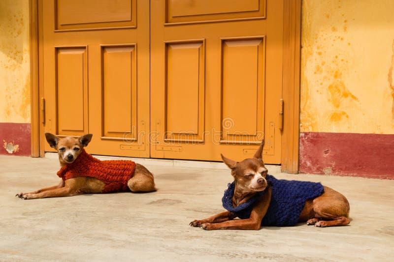 Zwei Ingwerhunde in den bunten Strickjacken stehen nahe still, um Haus gelb zu färben lizenzfreies stockbild