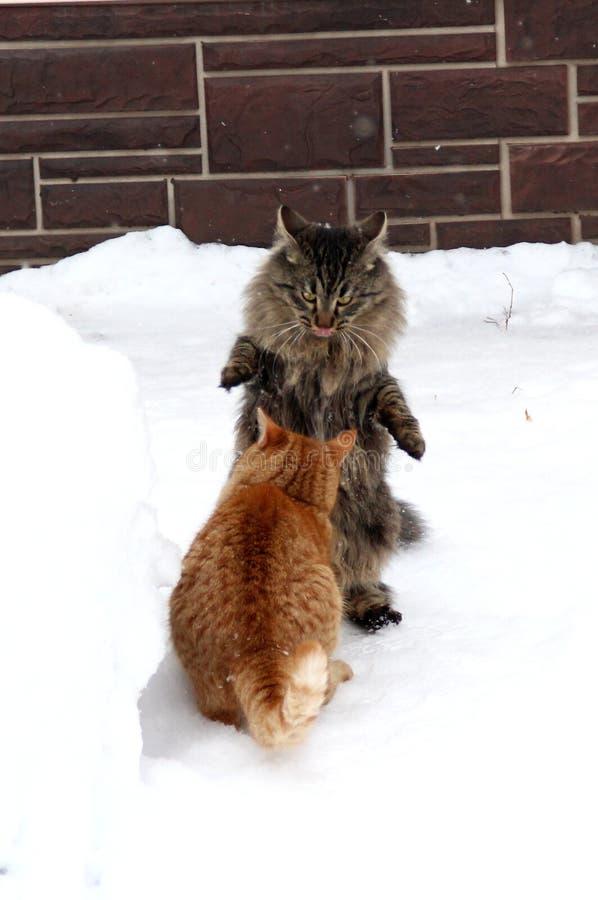 Zwei inländische Kätzchen, die im Schnee spielen stockfoto