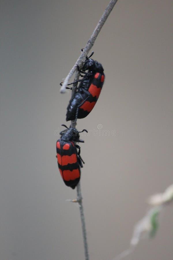 Zwei Insekten wussten nicht, dass nennen stockbilder