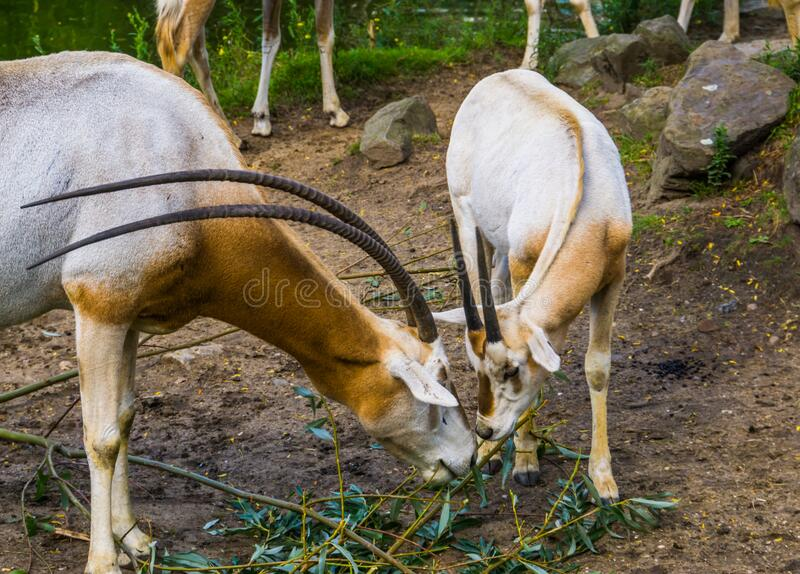 Zwei Ischimitoryxen fressen Blätter zusammen, Antelope-Diät, Tierart, die in freier Wildbahn ausgestorben ist stockbilder