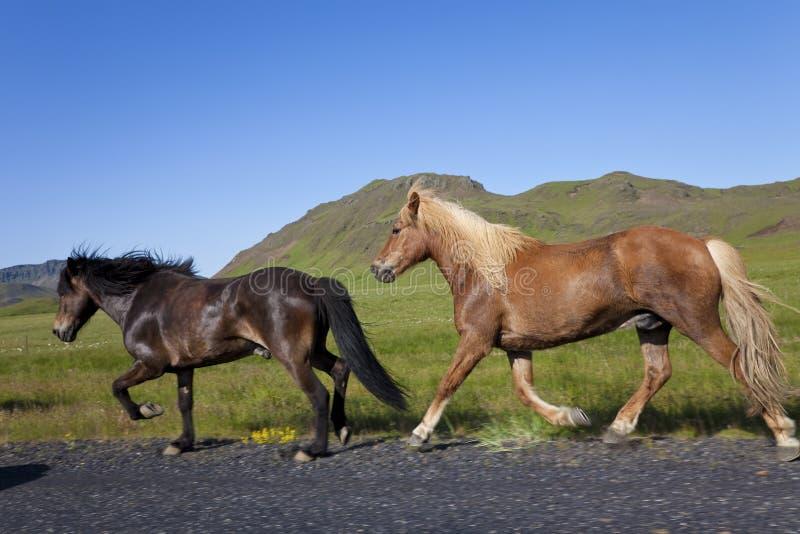 Zwei isländische Pferde, die durch die Seite einer Straße laufen lizenzfreies stockfoto