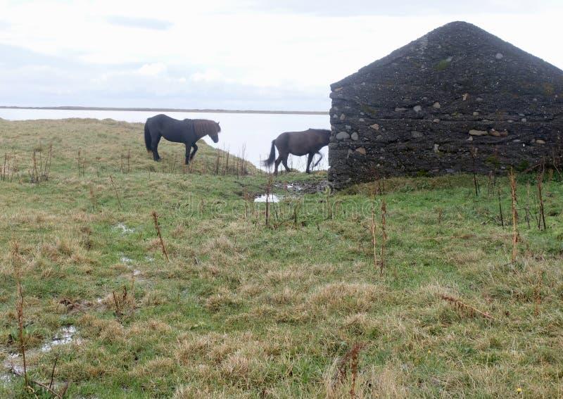 Zwei isländische Pferde und eine alte Ruine lizenzfreies stockfoto