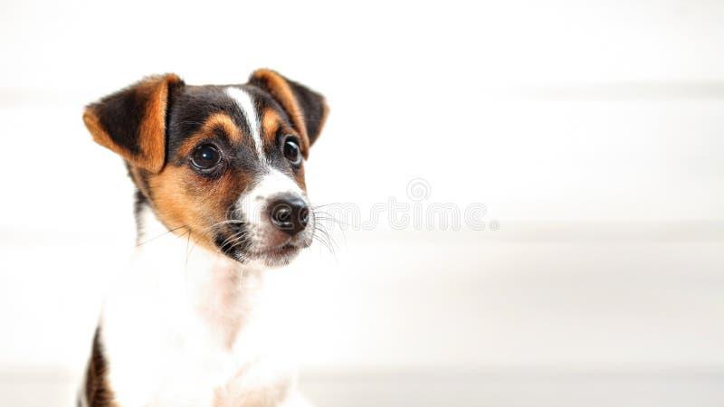 Zwei Jack Russell Terrier-Monate alte Welpen, Detail über Kopf, hoch stockbilder