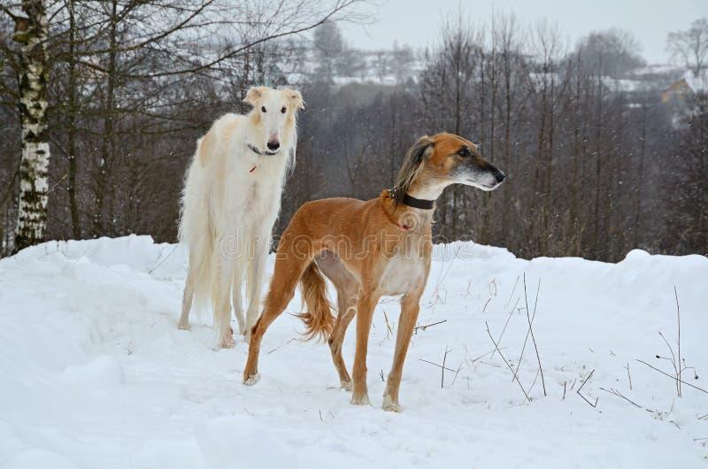 Zwei Jagdhunde lizenzfreie stockbilder