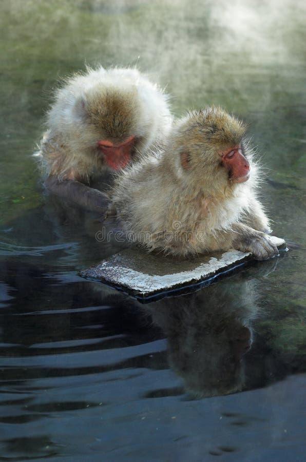 Zwei japanische Macaquefallhammer in den heißen Frühlingen stockfoto