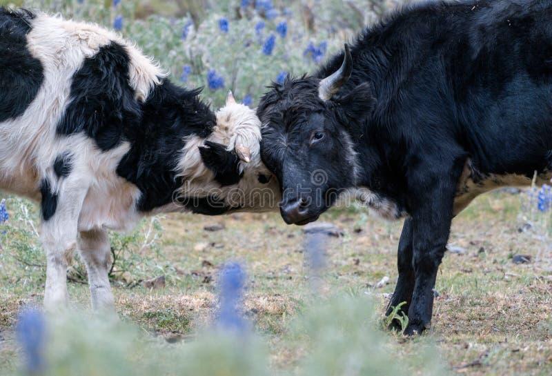 Zwei Jungbullen, die Hörner zuschließen und playfully kämpfen stockfotografie
