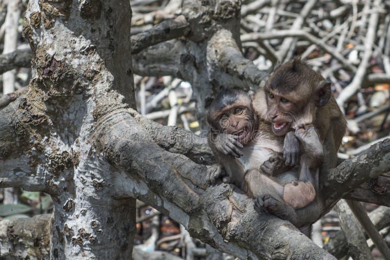 Zwei junge Affen, die in der Mangrove spielen stockbilder
