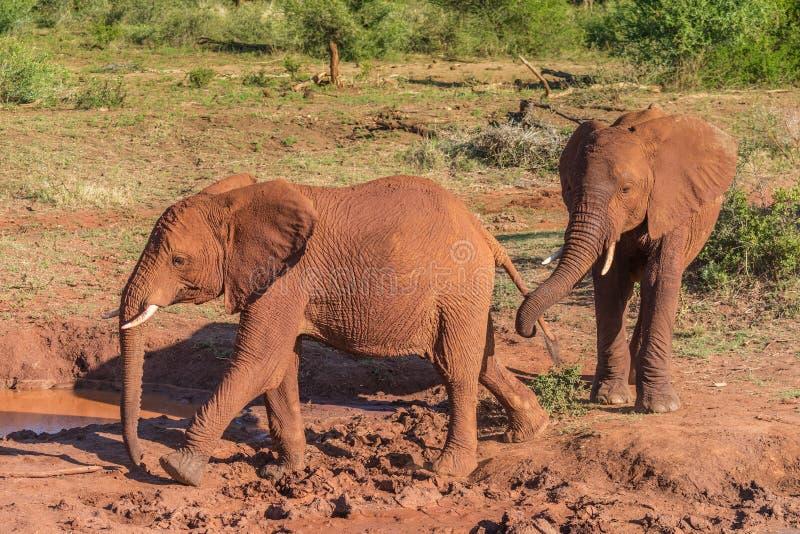 Zwei junge afrikanische Elefanten der Geschwister lizenzfreie stockbilder