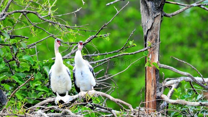 Zwei junge Anhingavögel, die im Sumpfgebiet singen stockfoto