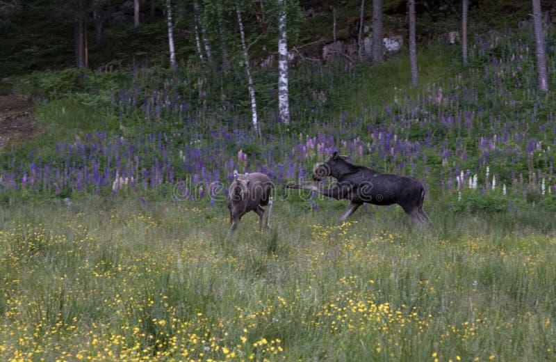 Zwei junge Elche oder Elche, Alces Alces, natürliches Verhalten durch das Treten spielend und zeigen lizenzfreie stockfotos