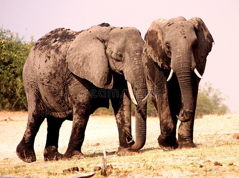 Zwei junge Elefanten lizenzfreies stockbild