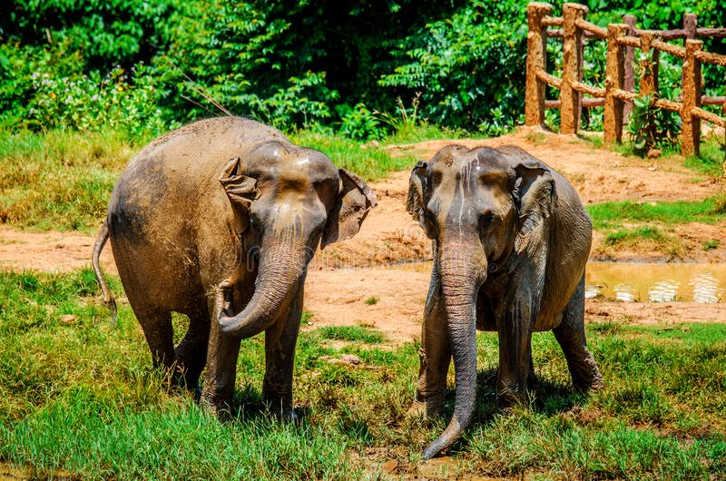 Zwei junge Elefanten gießen Schlamm am Pinnawala-Elefant-Waisenhaus Sri Lanka stockbild