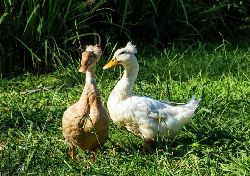 Zwei junge Enten lizenzfreies stockfoto