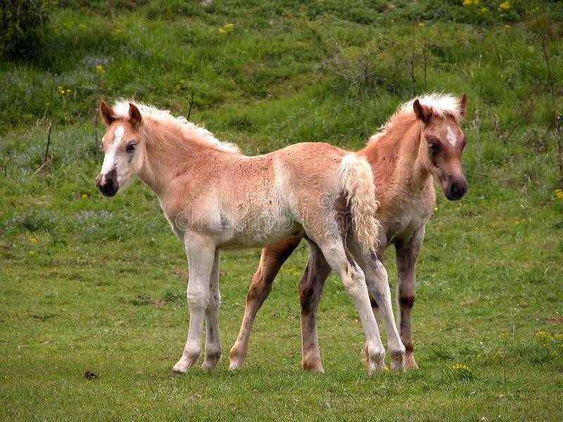 Zwei junge Fohlen stockbilder