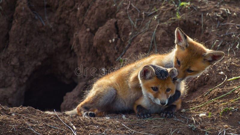 Zwei Junge Fox, der nahe seinem Loch spielt lizenzfreie stockfotos