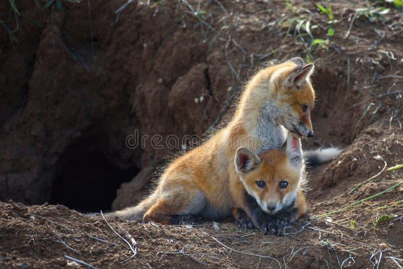 Zwei Junge Fox, der nahe seinem Loch spielt stockfotos