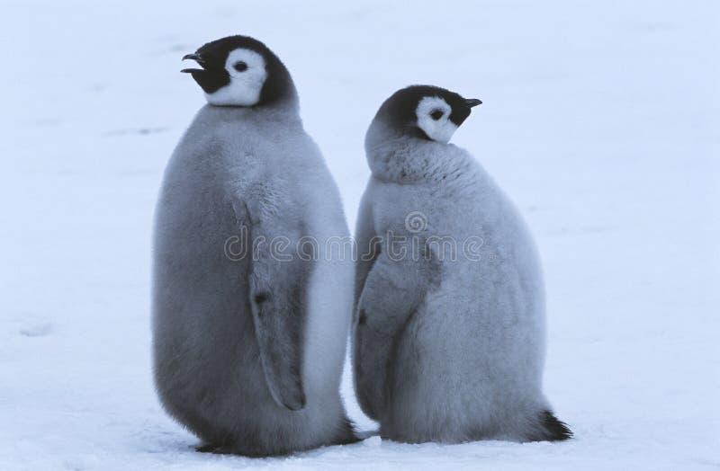 Zwei junge Kaiser-Pinguine, die zurück zu Rückseite stehen stockfotos