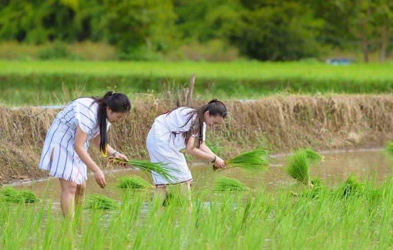 Zwei Junge Karen-Stammdame bauen Reis auf dem Reisgebiet an stockfotos