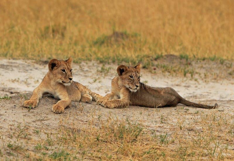 Zwei junge Löwejunge, die auf den staubigen Ebenen in Hwange stillstehen stockfoto