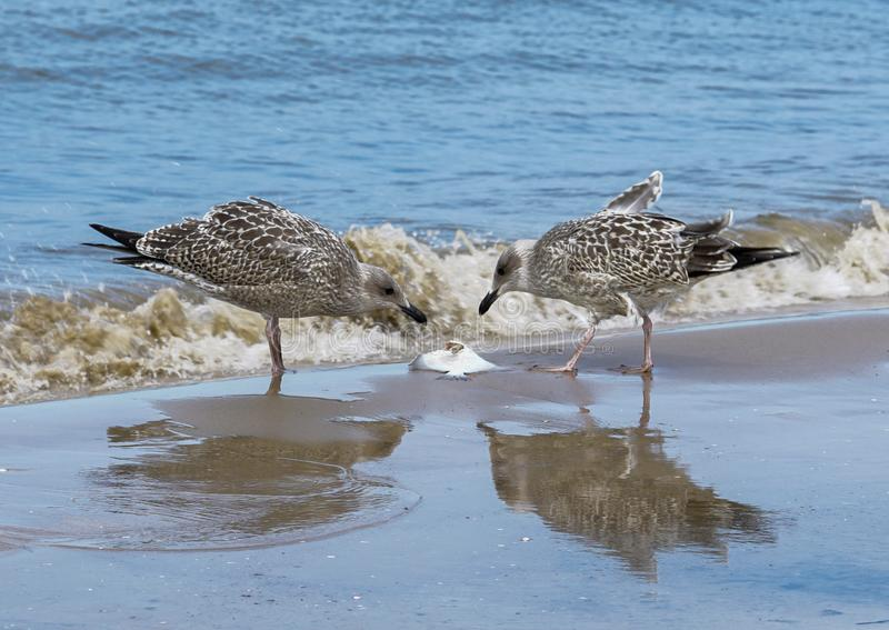Zwei junge Möven essen Fische auf der Küste stockfotos