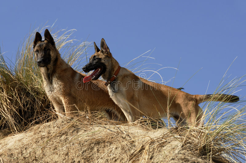 Zwei junge malinois stockfoto